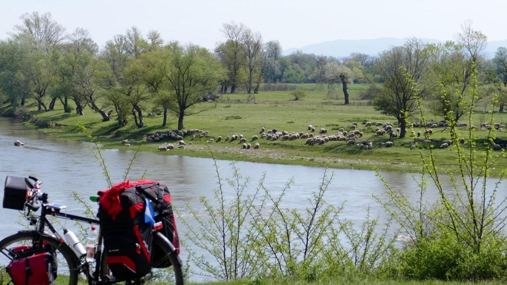 El rio Mures y uno de tantos rebaños bebiendo.