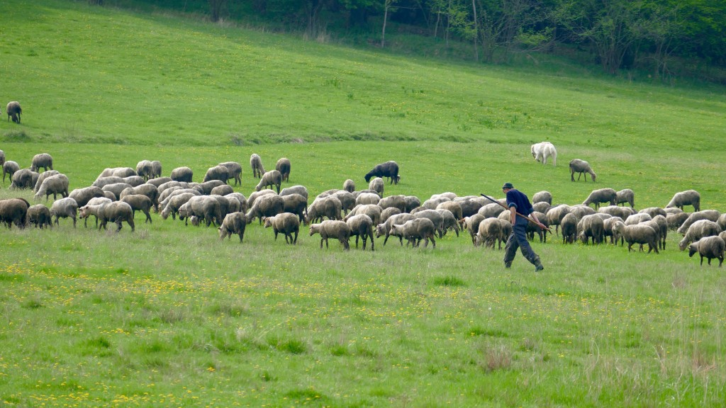Shepherd in Romania, Covasna