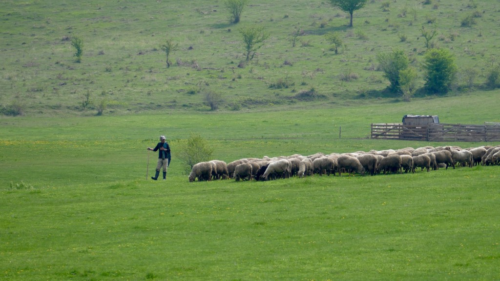 Shepherd in the Szekely region (Transilvania)