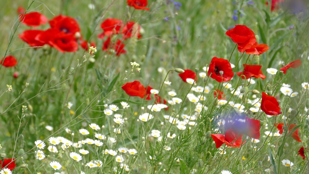a flowery meadow with red poppies.