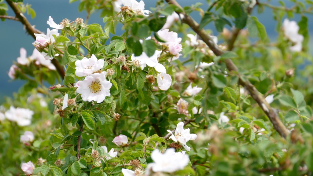 Wild Roses, typically for Bulgaria