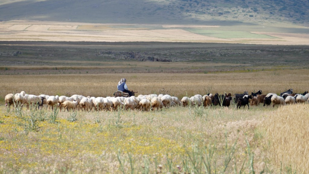 Sheep mob in the Steppe.