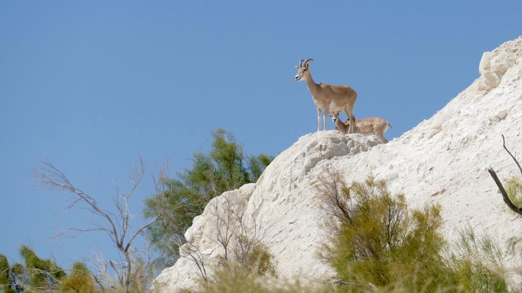 Goats above Beket Ata